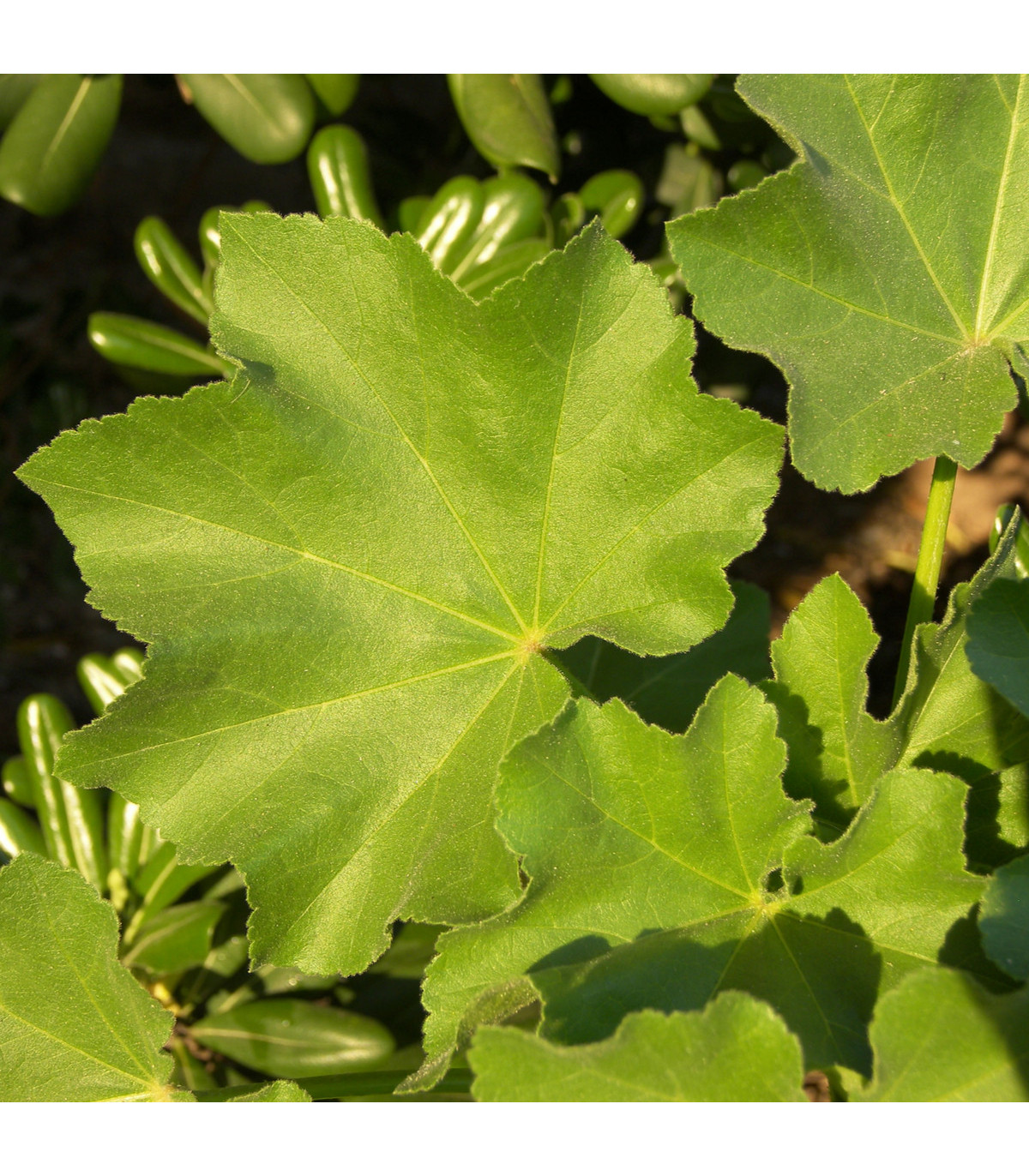 Sléz přeslenitý - semena asijské zeleniny - Malva verticillata - 0,7 gr