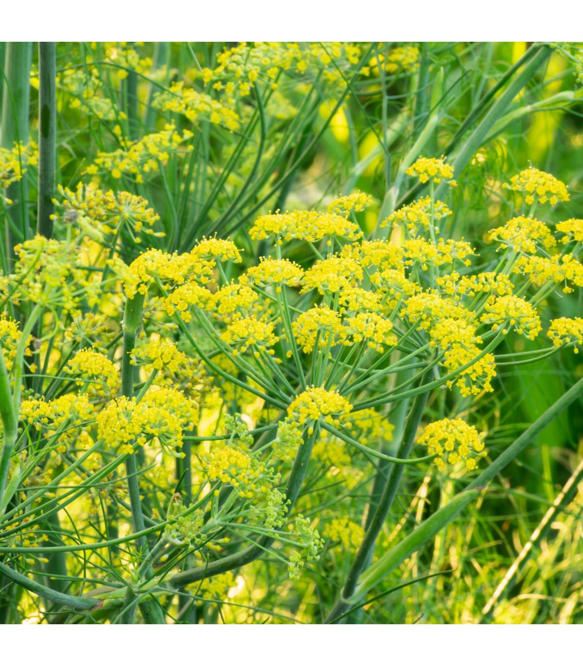 BIO fenikel koreninový - bio semená Fenikla - Foeniculum ssp. - 0,3 g