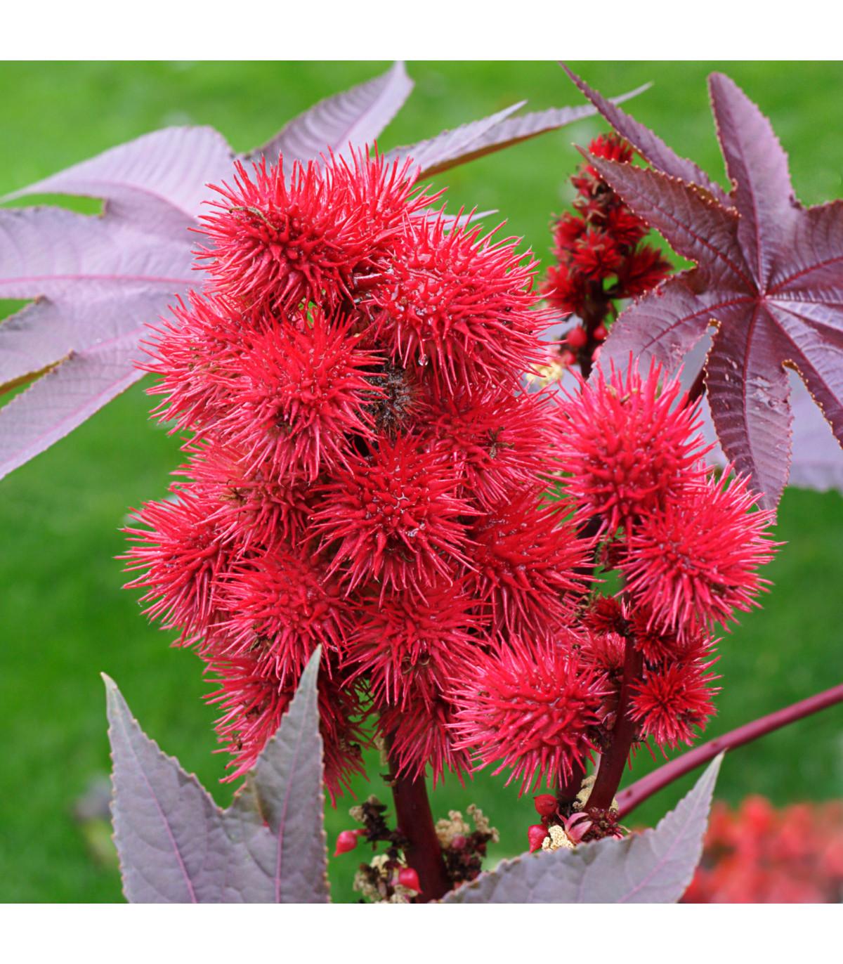 Skořec obecný - semínka Skořce - rostlina Ricinus communis - 3 ks