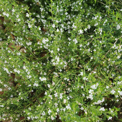 Saturejka horská - semienka Saturejky - rastlina Satureja montana - 0,5 g