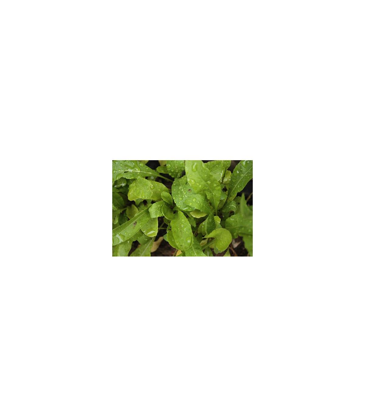 BIO Rukola Roma - semena bio Rukoly - 50 ks