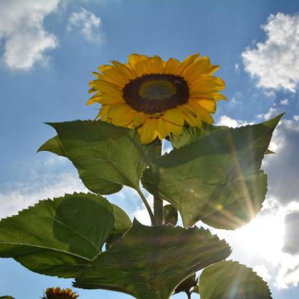 Slunečnice King Kong - semena Slunečnice - Helianthus annuus - 6 ks