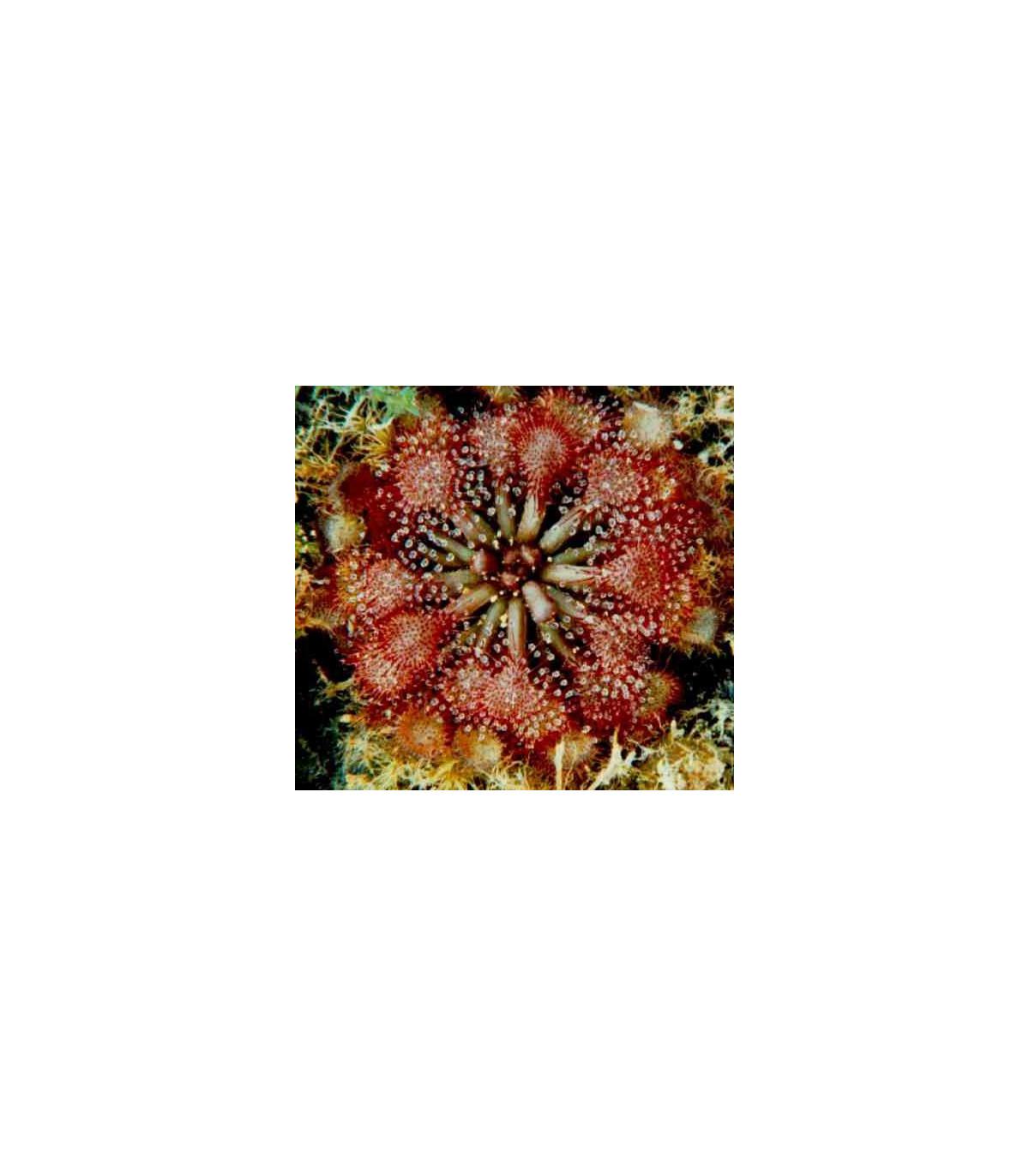Drosera burkeana - semena rosnatky - 15 ks