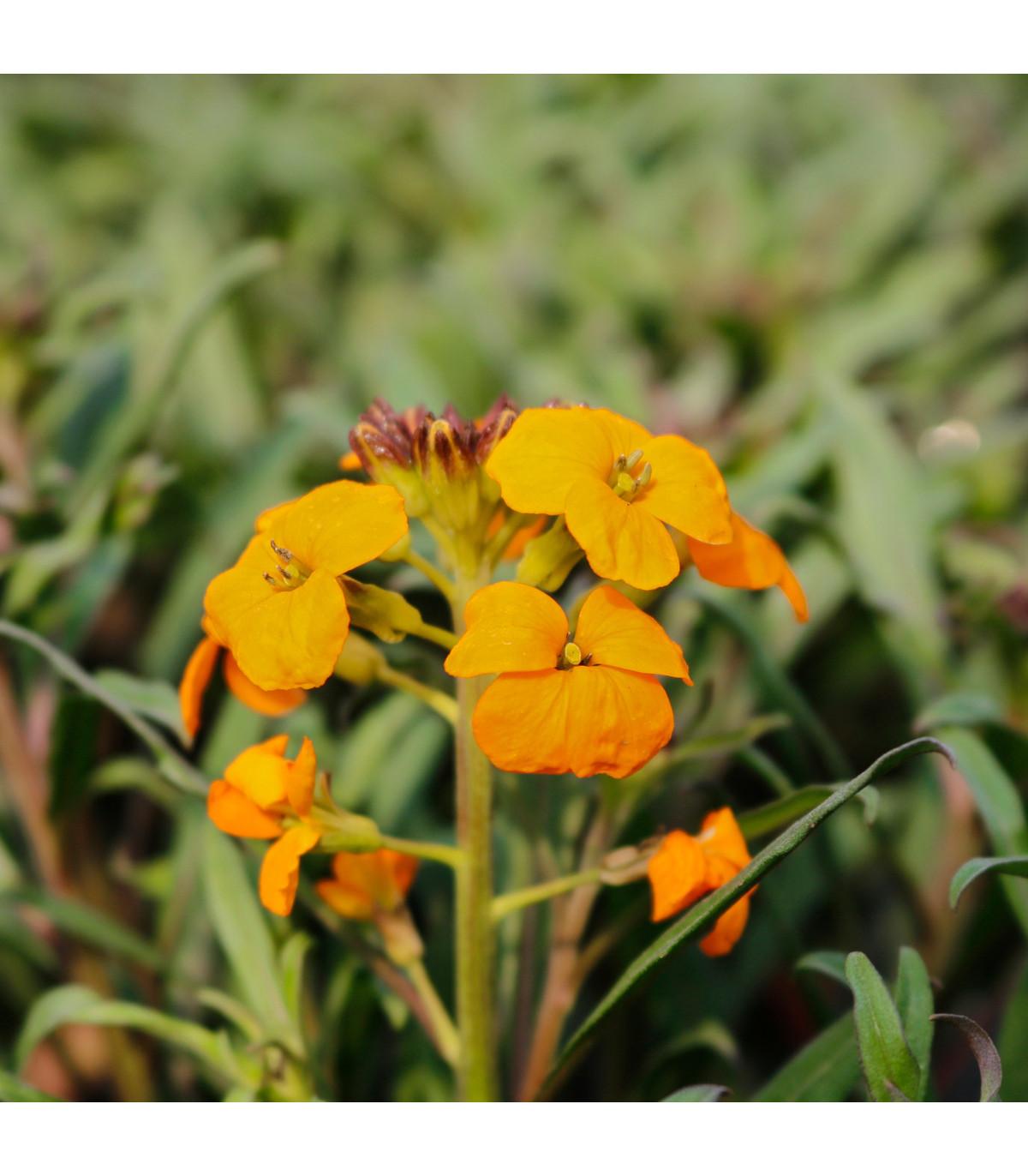 Chejr sibiřský - semena Chejcru - Cheiranthus allionii - 1 gr