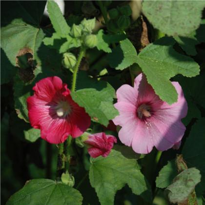 Topolovka Simplex směs - semena Topolovky - Althaea rosea - 40ks
