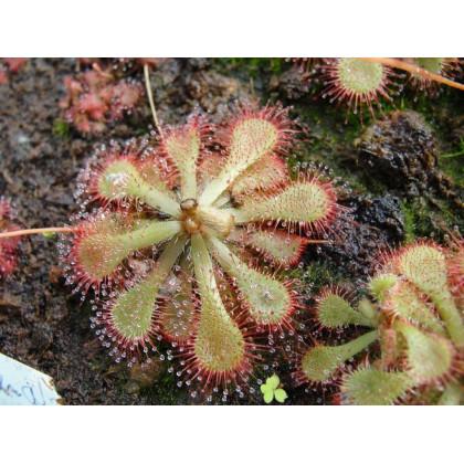 Rosnatka- semena- 15 ks- Drosera dielsiana