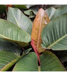 Banánovník habešský - semena Banánovníku - Ensete vetricosum - 3 ks