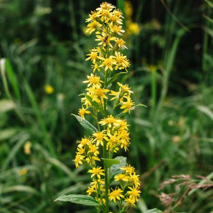 Zlatobýl obecný - semena Zlatobýlu - Solidago virgaurea - 10 ks