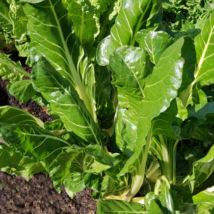 Mangold Lucullus - semena Mangoldu - Beta vulgaris - 200 ks