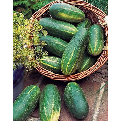 Salátová okurka Delikates - semena Okurek - 20 ks