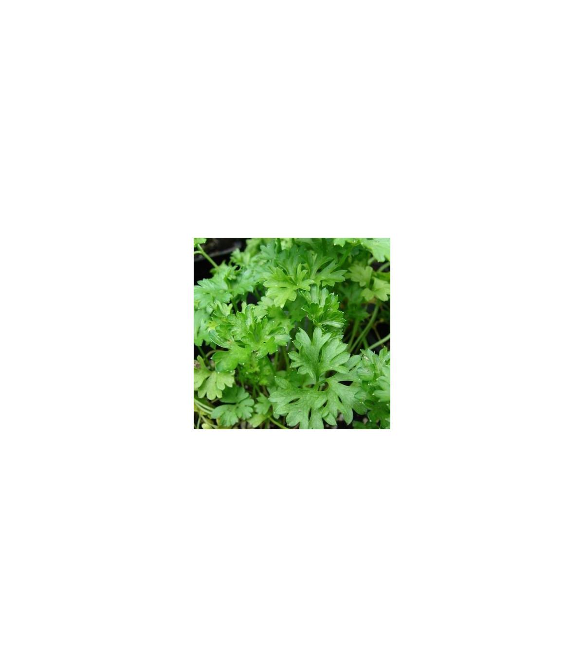 Petržel naťová kadeřavá - tmavě zelená - semena Petržele - Petroselinum crispum convar - 1 gr