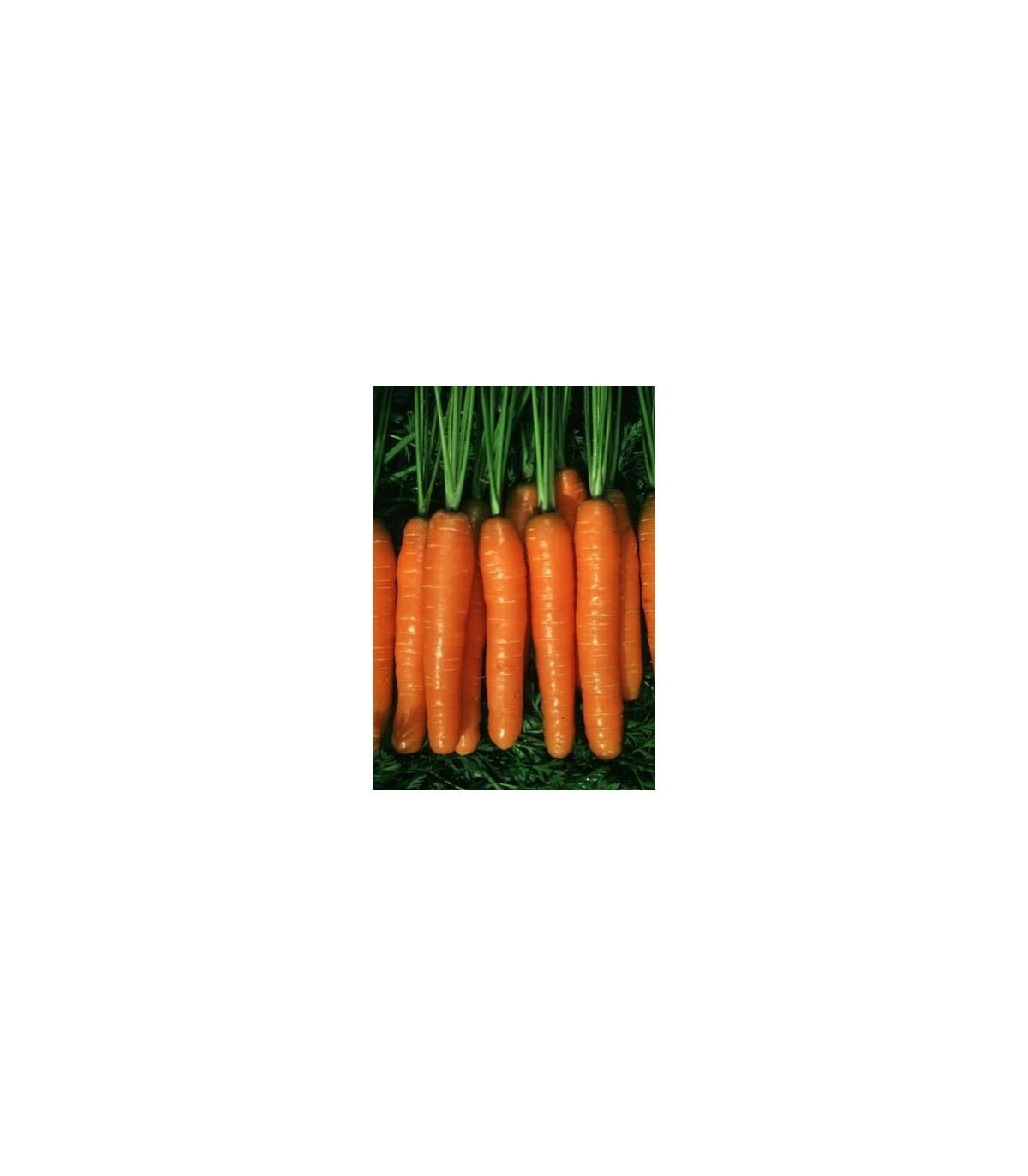 Mrkev Rubina - semena Mrkve - Daucus carota - 1 gr