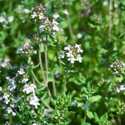 Tymián francouzský letní - semínka Tymiánu - Thymus vulgaris - 50 ks