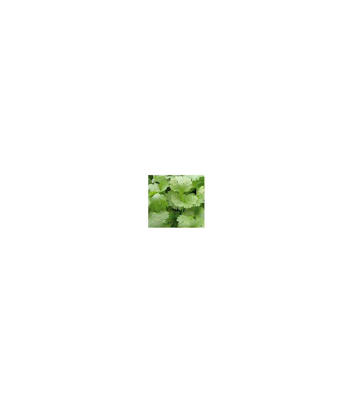 Koriandr setý Chechnya - semena Koriandru - Coriandrum sativum - 100 ks