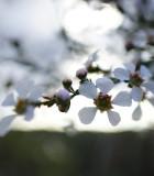 Tea tree/Čajovník