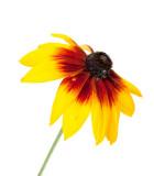 Rudbekia, Echinacea